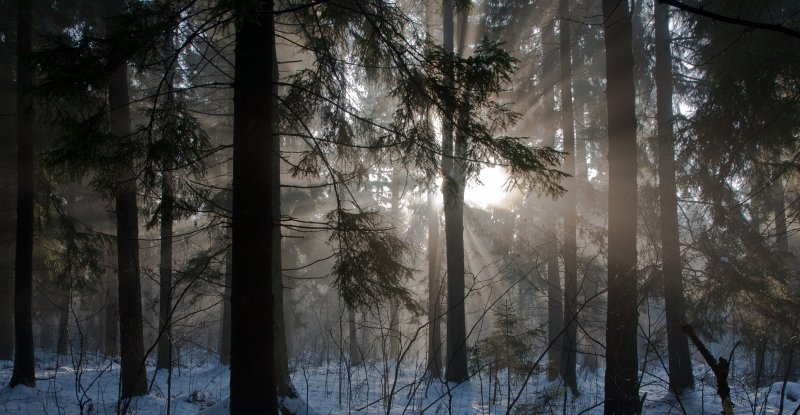 1497856-winter-landscape-of-coniferous-stand
